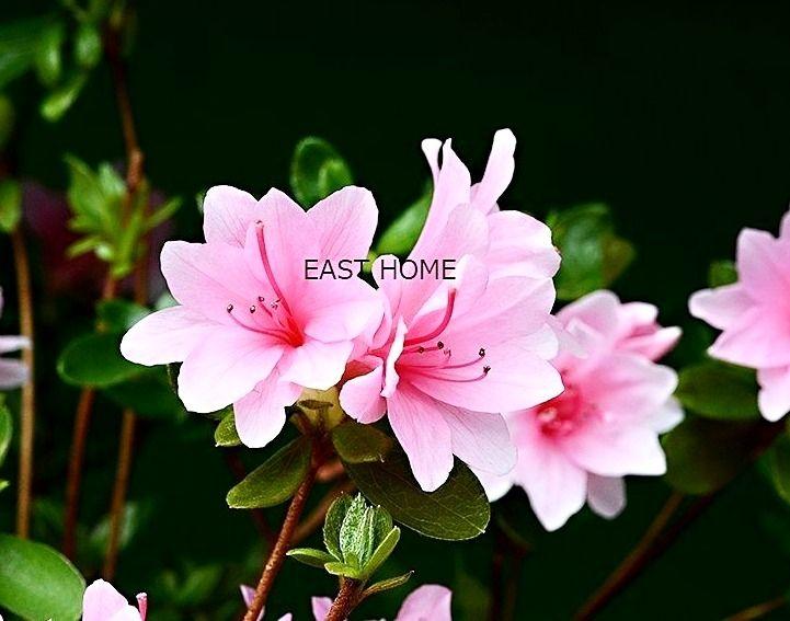 八幡山 イーストホームです。6月7日の誕生花は「ツツジ」です♪