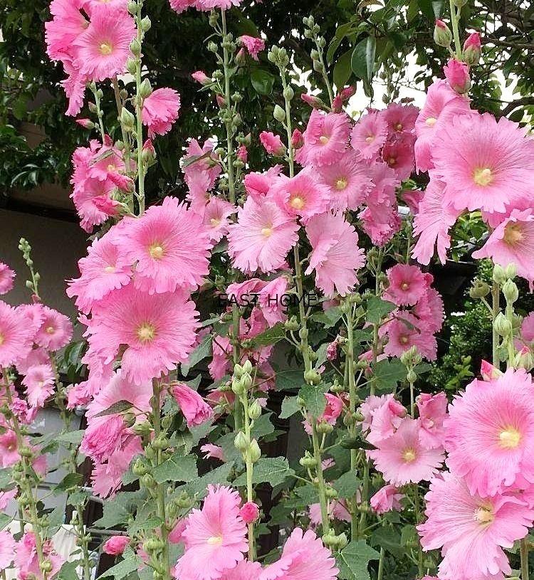 八幡山イーストホームです。6月15日の誕生花は「タチアオイ」
