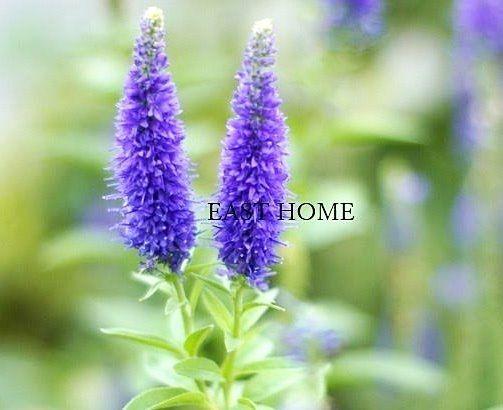 八幡山イーストホームです、6月20日の誕生花は「ベロニカ」