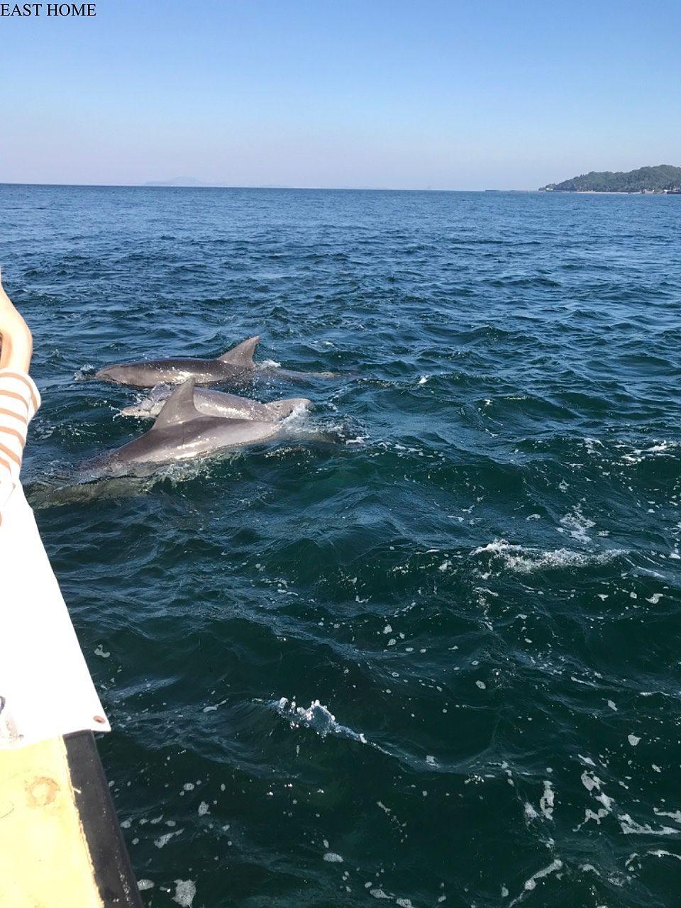 熊本の天草市五和町のイルカウォッチングでイルカの大群に遭遇!